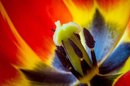 Macro opname van een tulp