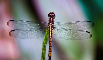 Libelle in prachtige kleurstelling van Bianca ter Riet