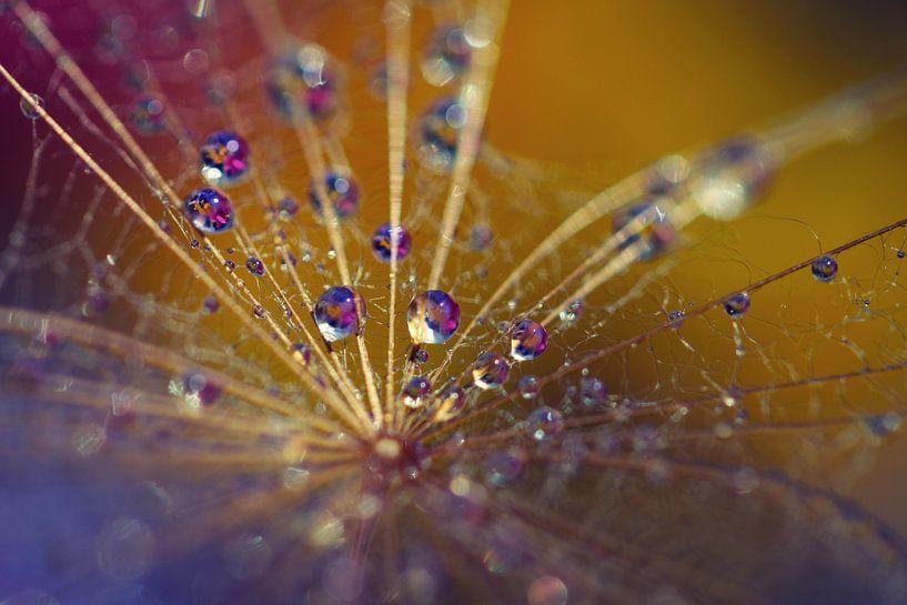 drops on dandelion.. van Els Fonteine