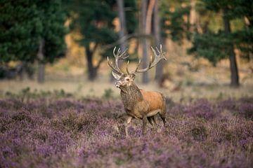 Rothirsch ( Cervus elaphus ), kapitaler Hirsch, schreitet stolz durch blühende Heide von wunderbare Erde