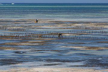 Zanzibar - oogst van zeewier van Mariette Kapitein