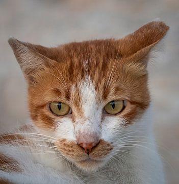 Katze Gesicht Nahaufnahme Bild mit unscharfen Hintergrund von Mohamed Abdelrazek