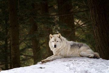 Loup gris au repos van Renald Bourque