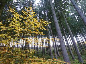 Solo in het bos van