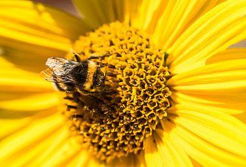 Nahaufnahme einer leuchtend gelben Blüte mit Hummel, die Pollen sammelt von Alex Winter