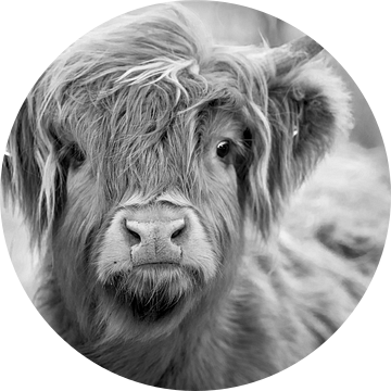 Schotse Hooglander / koe / Zwart / Wit van Ton Tolboom