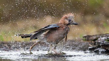Gaai die tijdens de warme zomerdag een bad neemt en daar al spetterend uit rent van Jan Jongejan