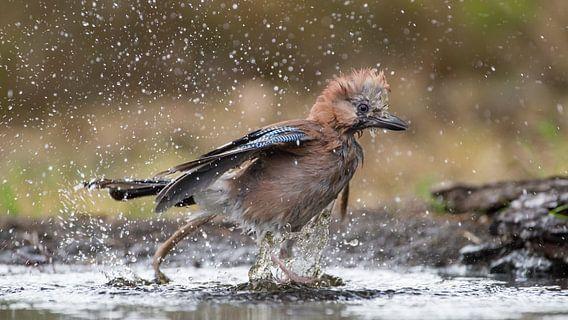 Gaai die tijdens de warme zomerdag een bad neemt en daar al spetterend uit rent