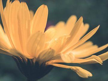 Gelbe Blume Nahaufnahme Makro-Fotografie von Art By Dominic