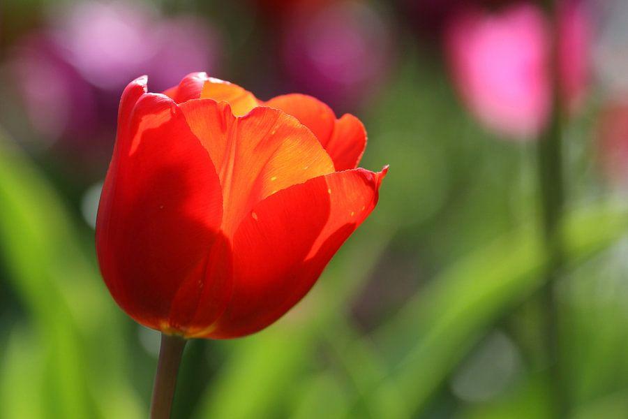 Tulpen in de Keukenhof (5)