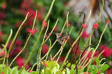 Kolibrie op Bonaire van Myrthe Visser-Wind