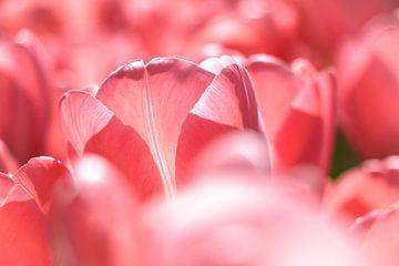 Close up van een roze tulp in de zon van Laura Weemering