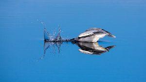 Blauwe Reiger duikt naar vis