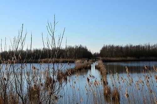 Rietweg in het water van de Biesbosch