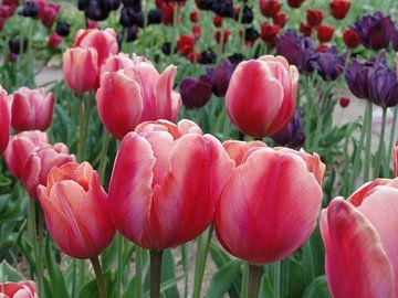 Tulpenveld von Lotte Veldt
