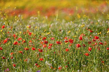 Veld met klaprozen en andere wilde bloemen in de lente van Gea Gaetani d'Aragona