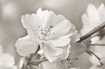 Fleur de cerisier japonais sur Violetta Honkisz