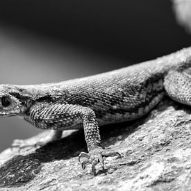 Salamandre sur Gerwin Hoogsteen