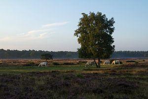 Grazers op de Hoorneboegse Heide