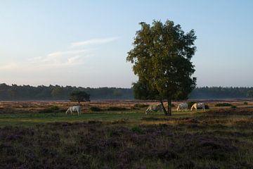 Grazers op de Hoorneboegse Heide van Wietske Otter