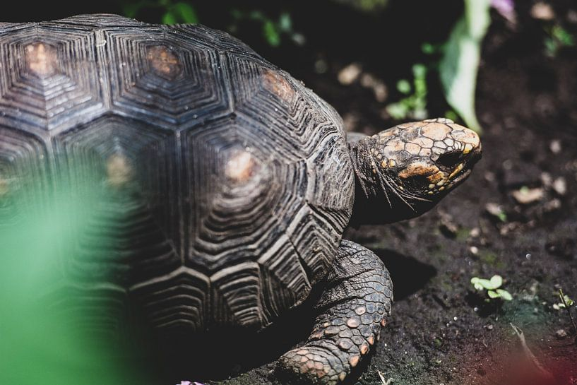Schildpad op donkere grond van Ronne Vinkx
