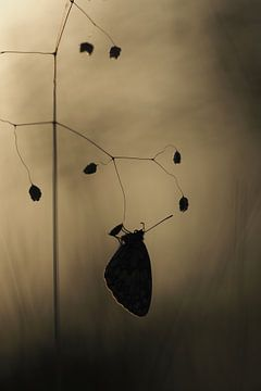 Vlinder bij zonsopkomst van Astrid Brouwers