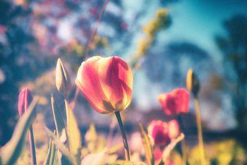 Blossom Gruga - Frühlings Tulpen Tulip in sanften Bokeh fotografiert von Jakob Baranowski - Off World Jack