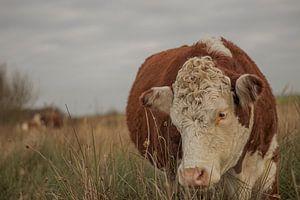Bruine koe van