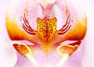 Close-up van een orchidee in roze en geel van