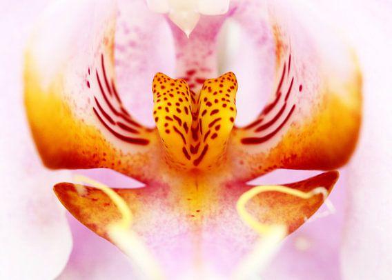 Close-up van een orchidee in roze en geel