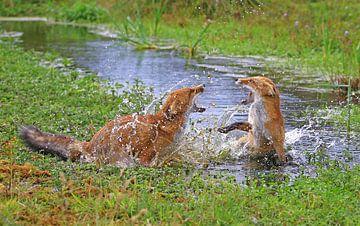 Vechtende vossen in het water van Michel de Beer