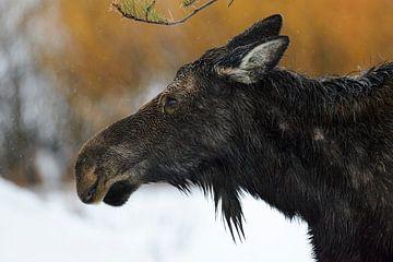 Eland / Eland ( Alces alces ), kopstoot van een volwassen vrouwtje, koe, op een regenachtige dag in  van wunderbare Erde