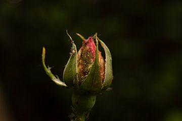 rozen knop von Lisenka Pauw