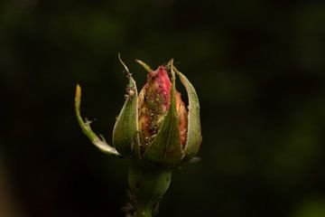 rozen knop sur Lisenka Pauw