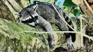 Racoon resting on a tree in Costa Rica van