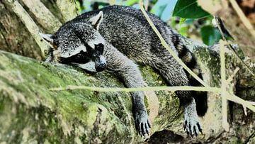 Racoon resting on a tree in Costa Rica van Tim van Vilsteren