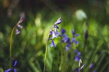 Paarse bos hyacint in de lente van