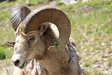 Gros plan, mouton bighorn, dans, parc national banff, canada sur Remco Phillipson