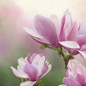 Magnolienblüten von Tanja Udelhofen