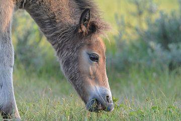 Foal of Exmoorpony sur Peter Zwitser