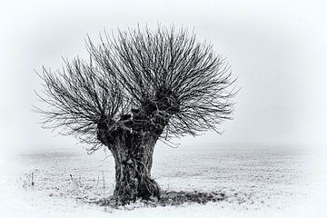 Hoofd boom van Kirsten Warner