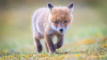 Mignon petit renard sur Dennis Janssen