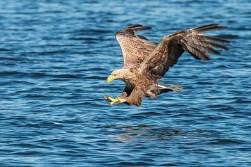 White Tailed Eagle sur Gert Hilbink
