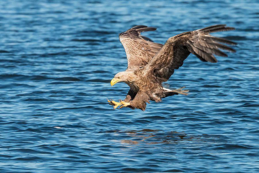 Vissende Zeearend van Gert Hilbink