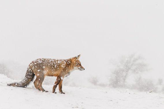 Rode vos in de winter tijdens een sneeuwbui