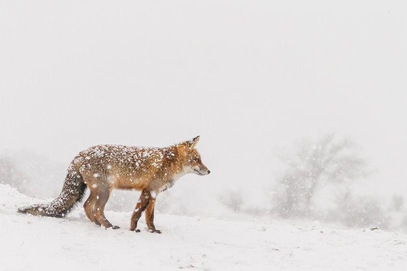 Rode vos in de winter tijdens een sneeuwbui van Menno Schaefer