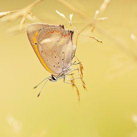 Kleine Vuurvlinder op de kop van Roosmarijn Bruijns