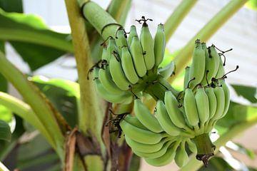 Bananenbaum von Chloe 23