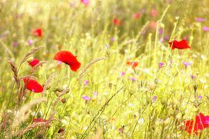 Bloemenveldje met klaprozen