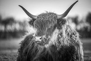 Schotse Hooglander van Peter Deschepper